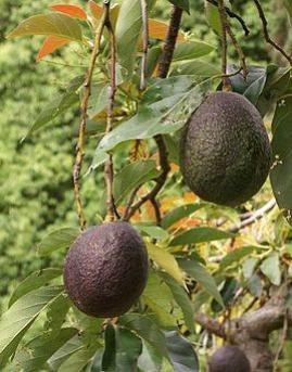 ist avocado eine frucht. Black Bedroom Furniture Sets. Home Design Ideas