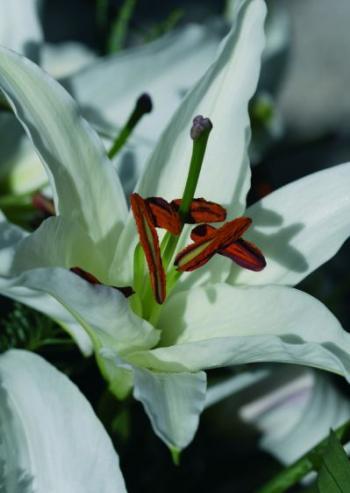 Top Lilien: Blütenstaub Flecken von Kleidung entfernen PY45