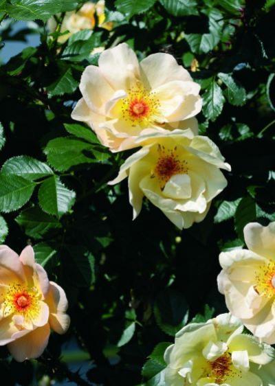 Rosen Stacheln Oder Dornen